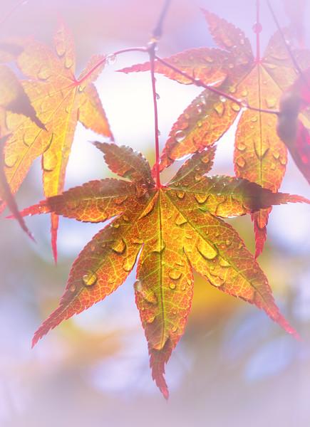 Japanese Maple Lilac Bokeh