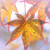 Japanese Maple Lilac Bokeh