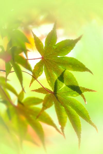 Japanese Maple Lime Bokeh