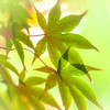 Japanese Maple Lime Bokeh