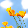 California Poppy Cartoon Clouds