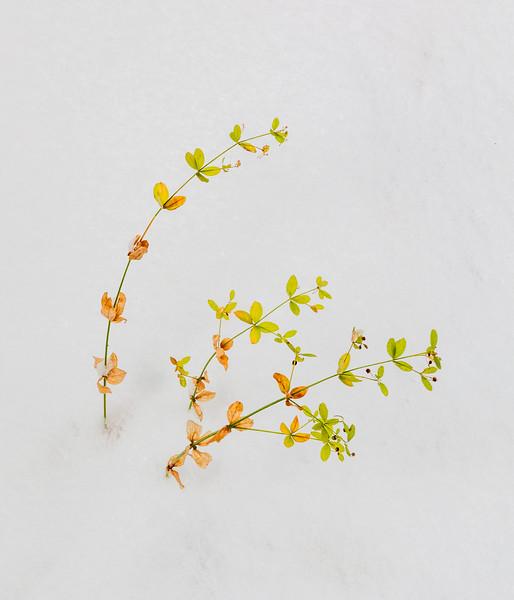 Delicate Plant in Snow