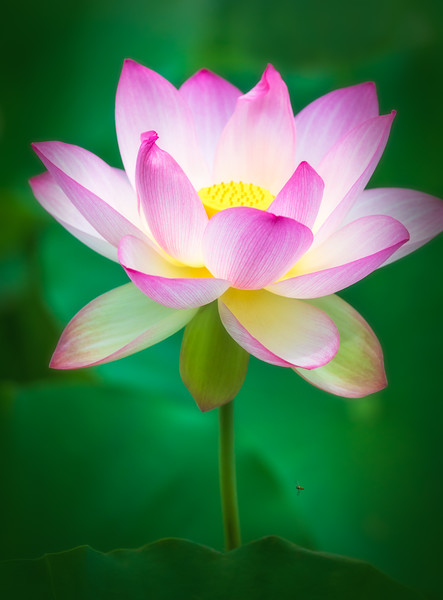 Busy Bee and Lotus Flower