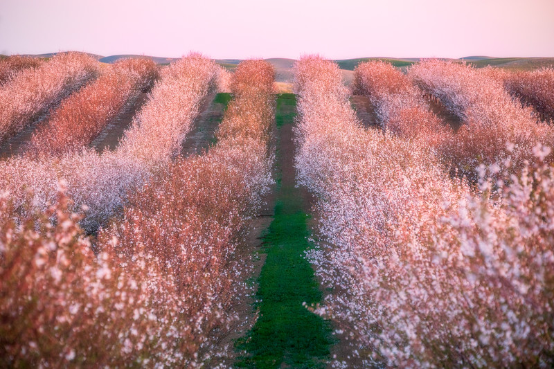 Yolo County Almond Orchard and Green Hills 2