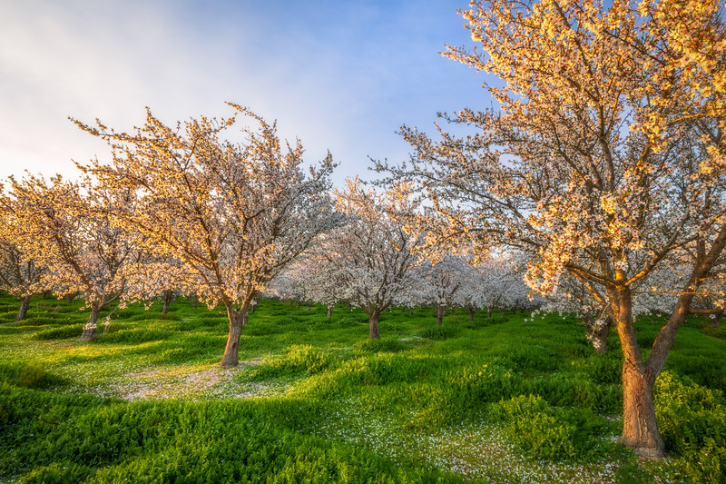 Sutter County Sunset Light on the Almond Orchard