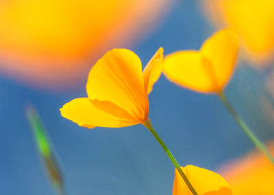 California Poppy in Blue