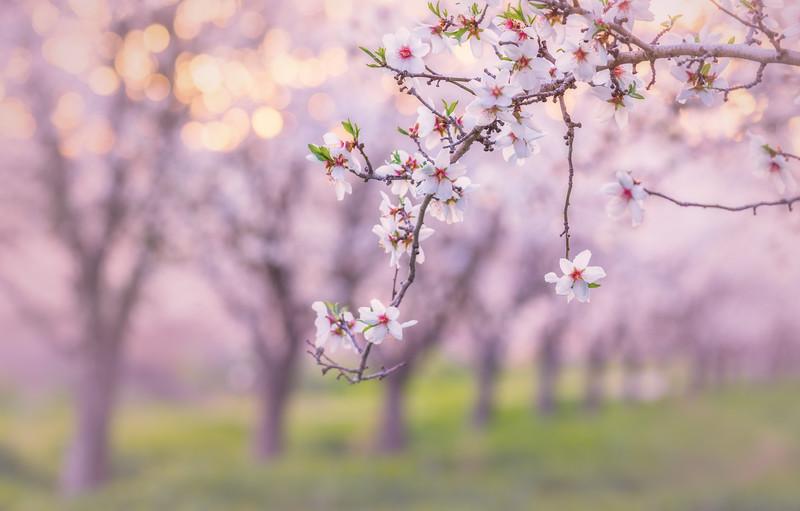 Almond Orchard Bokeh