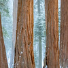 Uniform Sequoia Grove