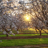 Yolo County Almond Orchard Sunburst