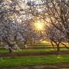 Yolo County Almond Orchard Sunburst
