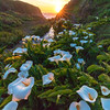 Doud Creek Calla Lily Sunset