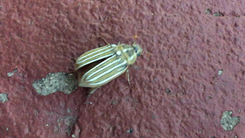 This is a short video (6 seconds) of a Ten-lined June Beetle lifting off, which I took on a hot (103 degrees) day in Big Pine, California.
