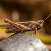 Grasshopper (I think)