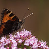 Butterfly on Thyme flowers.