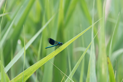 Beautiful Demoiselle damselfly on green