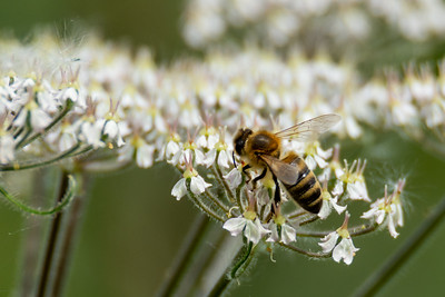 Wasp on cow parsley