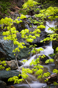 Green Maple Sapling and Waterfall
