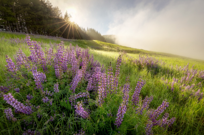 Field of Lupine in Redwood NP
