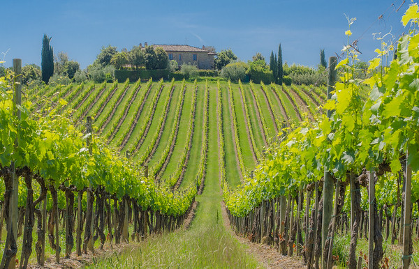 Vineyard around Castellina in Chianti, Tuscany