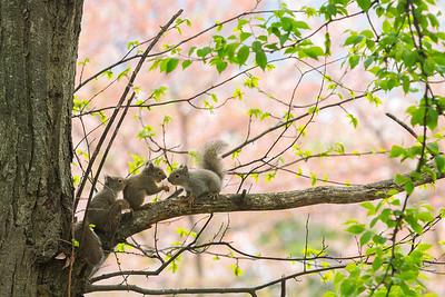 Japanese squirrel , Sciurus lis , Japan edemic spesies