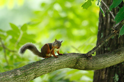 Japanese squirrel , Sciurus lis , Japan edemic spesies