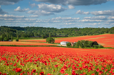 Fields of Poppies