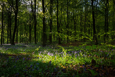 Bluebells in the Wyre Forest