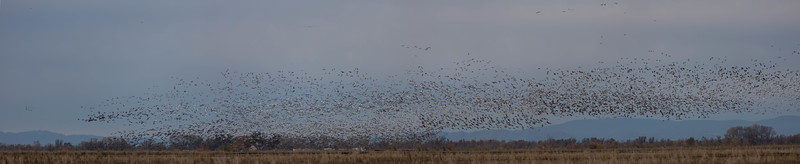 Snow Goose and Specklebelly goose hunt in California.
