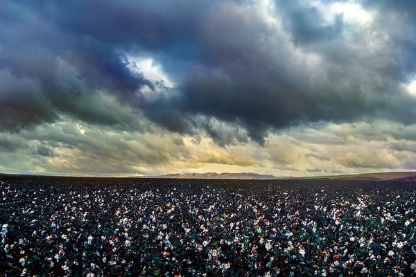 Cotton Field-CA
