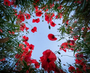 In Amonst The Poppies