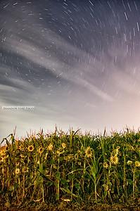 Sunflower Stars