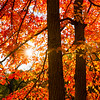 Fall, Morton Arboretum