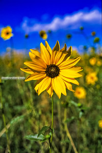 Front Range Sunflower