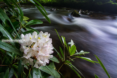 Mountain Laurel Stream