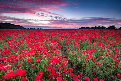 The Poppies At Sunset