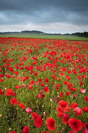 Poppies At Badbury
