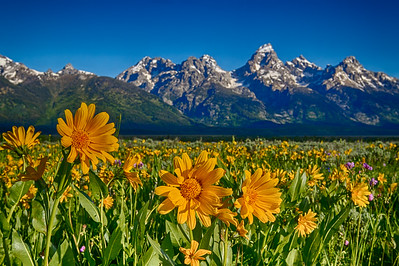 Wildflowers and Tetons