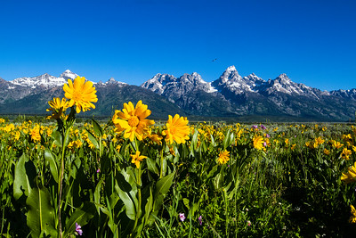 Wildflowers, Bird and Grand Tetons