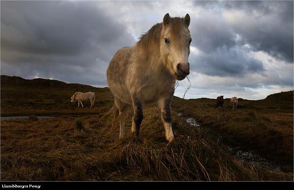 Llanddwyn ponies