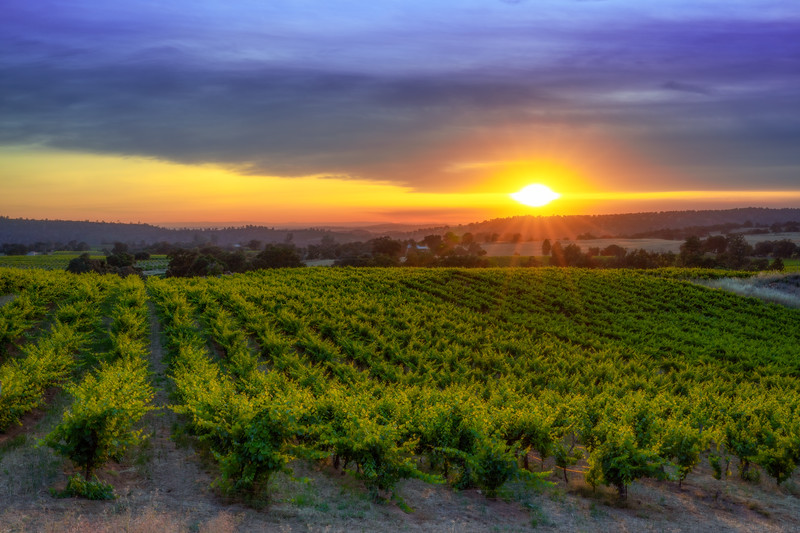 Sun on the Vines