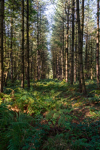 Tall trees in Sherwood Forest