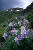 Colorado Columbines