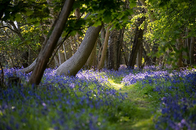 Bluebell path with dappled sunlight