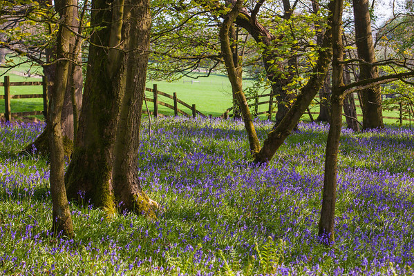 Spring Wood, Bluebells near Whalley in Lancashire.