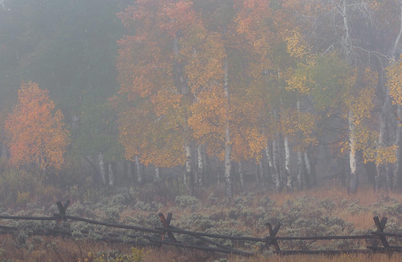 Misty Morning Aspens