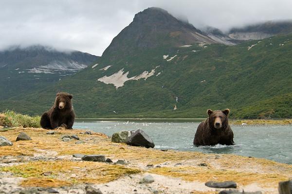 Brown Bear Sow & Cub