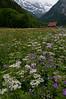 Wildflowers of Lauterbrunnen