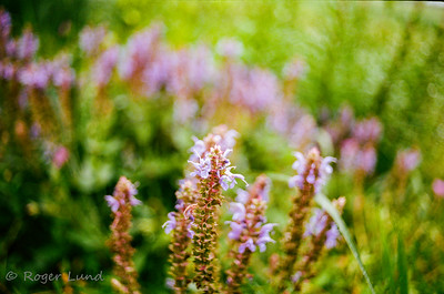 #Konica #AutoreflexT - #Vivitar Close focus 28mm F28 #Komine #portra400 #film #filmphotography #classiclens #sunny16podcast #flora #flowers #flowerphotography