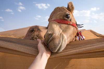 Young camel leaning over a canvas fence for a pet.