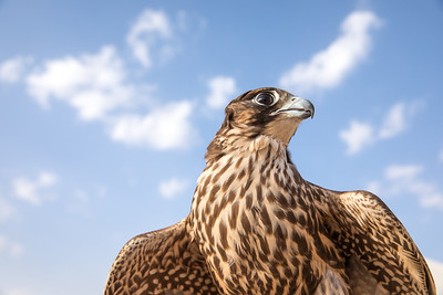 Portrait of a falcon.